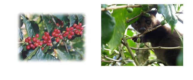 コピルアックは独特の香味コーヒーとして人気の逸品です
